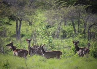 Wild deer on Padar Island, Komodo National Park