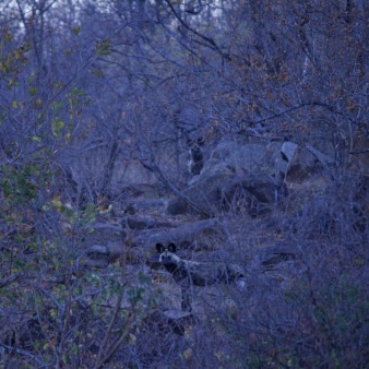 Wild dogs at daybreak in Limpopo National Park