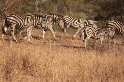 Procession of zebras in Kruger National Park