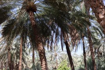 Date palms in Al Ain Oasis, UAE