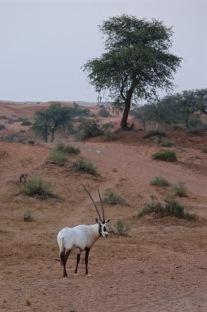 Arabian oryx in Al Wadi desert RAK