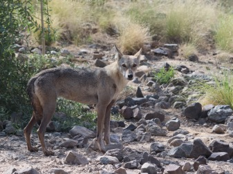 Arabian wolf at the Al Hefaiyah Mountain Conservation Centre