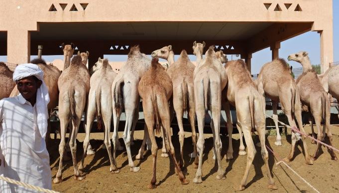 Row of dromedaries at Al Ain camel market