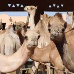 Funny dromedaries at the Al Ain camel market