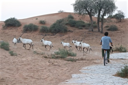 Cycling in the middle of a herd of Arabian oryx