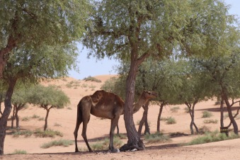 A dromedary by the road in Ras Al Khaimah