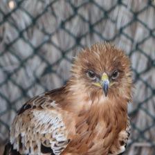 Eagle headshot, Kalba Bird of Prey Centre