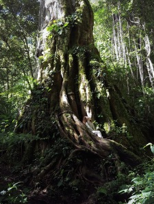 Girl sitting in a giant tree, Boquete Panama