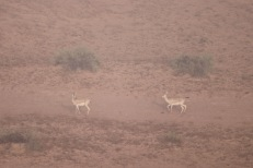 Goitered sand gazelle in the Al Wadi desert
