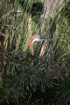 Goliath heron, Wasit Wetland Centre
