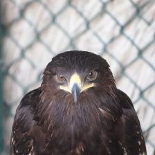 Greater spotted eagle close up