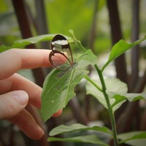 Greta Oto glasswinged butterfly Panama
