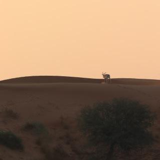 Mountain gazelle on a sand dune, Al Wadi desert