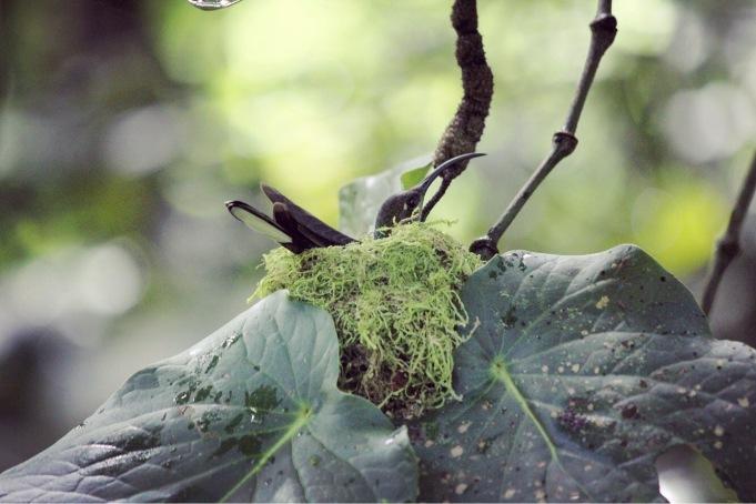 Nesting hummingbird in Boquete, Panama