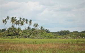 Panamanian landscape with palm trees and birds