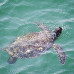 Sea turtle in Khor Kalba