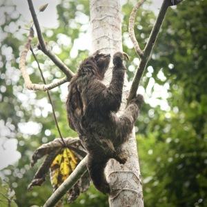 Three-toed sloth climbing up a tree, parquet Soberania Panama