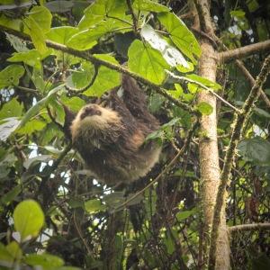 Two-toed sloth in the rain in La Amistad Panama