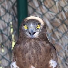 Snake eagle mugshot