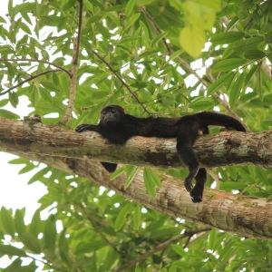 Spider monkey chilling on a branch