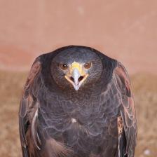 Spotted eagle mugshot