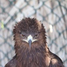 Steppe eagle mugshot