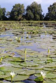 Water lilies, plantation Frederiksdorp