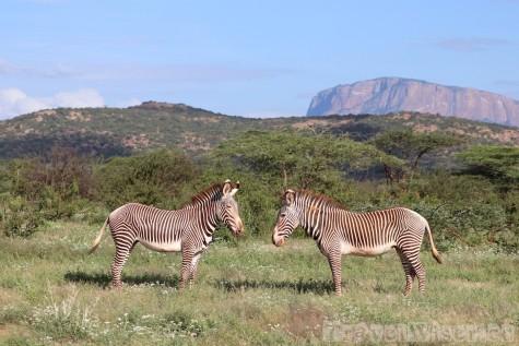 Two Gravy's zebras in front of sacred mountain, Samburu County Kenya