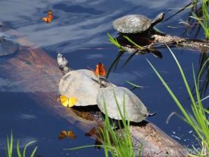 Turtles with butterflies on their nose, Amazon Ecuador