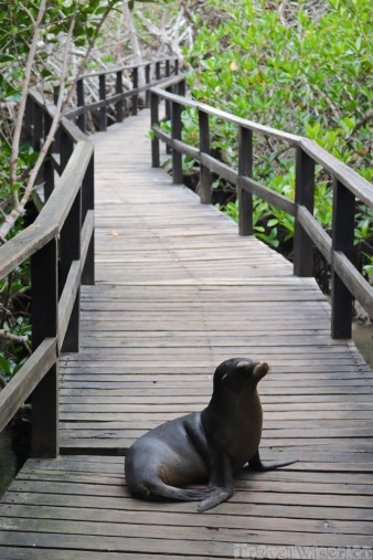 Sea lion on the boardwalk to Concha de Perla, Isla Isabela