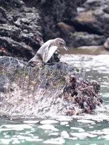 Galapagos penguin, Isla Bartolome