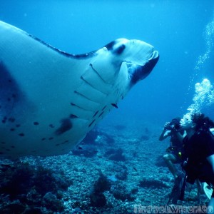 Curious manta ray with divers