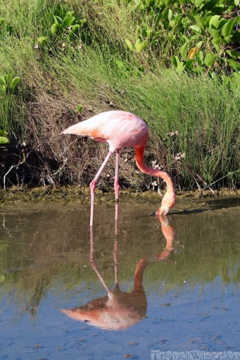 Galapagos flamingo, Isla Isabela Ecuador