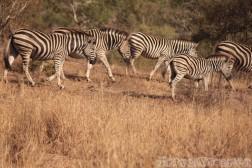 Zebras in the Kruger Park, South Africa