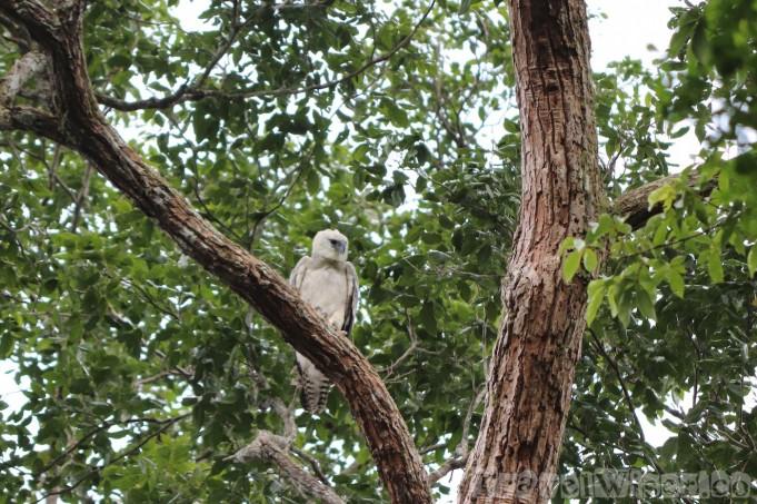 Fledged harpy eagle chick, Surama Guyana