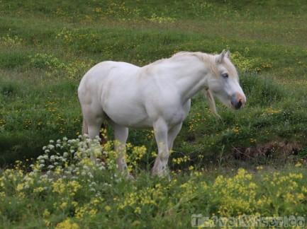 Connemara pony, Inishmore