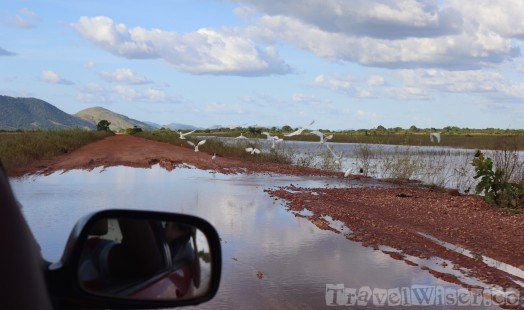 Waterbirds on a flooded road in the Rupununi savannah Guyana