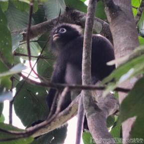 Dusky lemur or spectacled lemur, Khao Sok National Park Thailand
