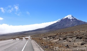 Vicuñas crossing the road in front of Volcan Chimborazo