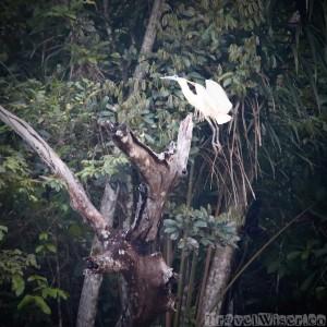 Capped heron Rupununi Guyana