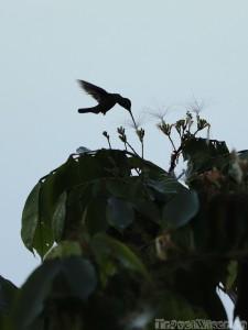 Hummingbird silhouette, Ecuadorian Amazon