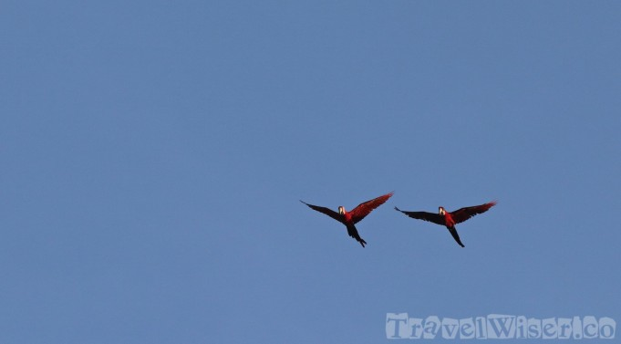 Flying scarlet macaws, Guyana