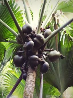 Coco de mer palm, Praslin Island
