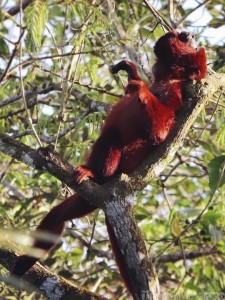 Red howler monkey, Napo Wildlife Center Ecuador