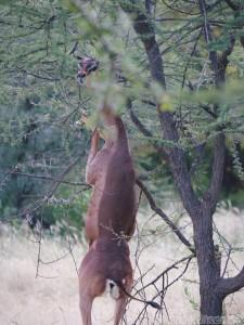 Gerenuk standing on its hind legs, Northern Kenya