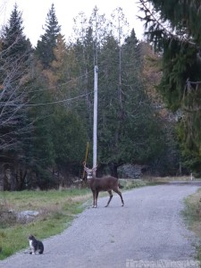 Stag and cat on the driveway