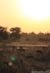 Impalas at sunset in the Kruger Park