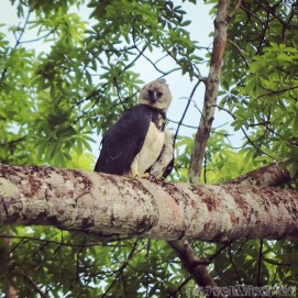 Where to see the harpy eagle in Guyana