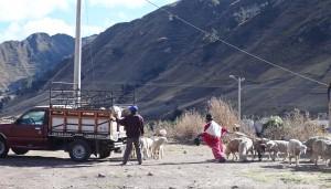 Zumbahua livestock market Ecuador