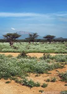 Wildflowers after the rains in Samburu County, Northern Kenya